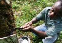 Côte d'Ivoire : bientôt la fin du calvaire pour la filière hévéa ?